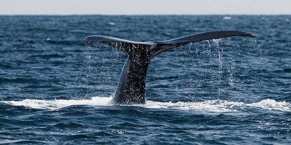 Humpback Whale, Megaptera novaeangliae 29 July 2010