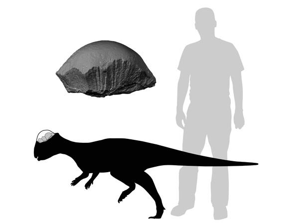 De dinosaurus in vergelijking met een mens. Ook ziet u een stuk van de verdikte schedel. Afbeelding: Caleb Brown.
