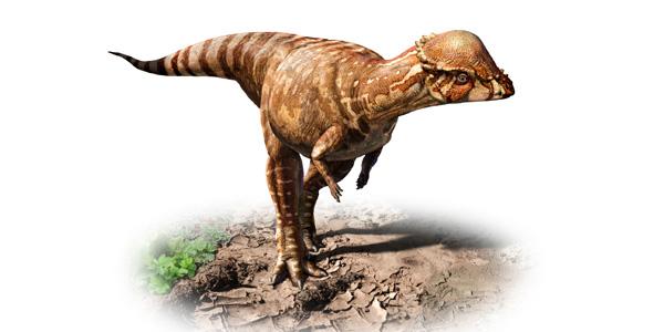 De nieuwe soort woog zo'n 40 kilo en was een planteneter. De dinosaurus bewoog zich op twee poten voort.Afbeelding: © Julius Csotonyi.