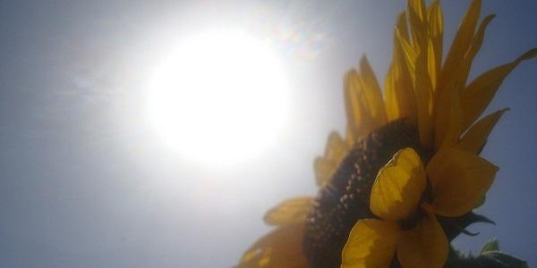 zon zonnebloem