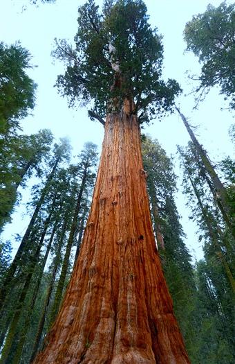 Kustsequoia's in de Verenigde Staten.
