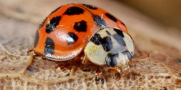 Exotisch lieveheersbeestje heeft toch geen biologische wapens