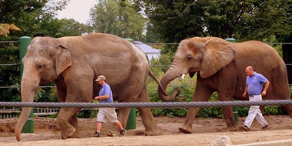 Olifanten aan de wandel. Foto: Brent Moore (via Wikimedia Commons).