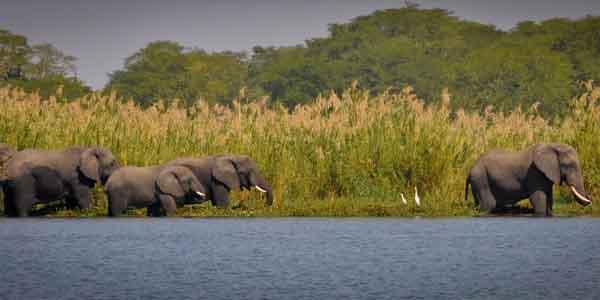 afrikaanseofifanten