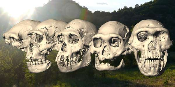 De vijf schedels die in Georgië zijn ontdekt. Afbeelding: Marcia Ponce de León / Christoph Zollikofer / Universiteit van Zürich.
