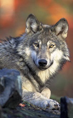 Canis lupus. Afbeelding: Gary Kramer (via Wikimedia Commons).