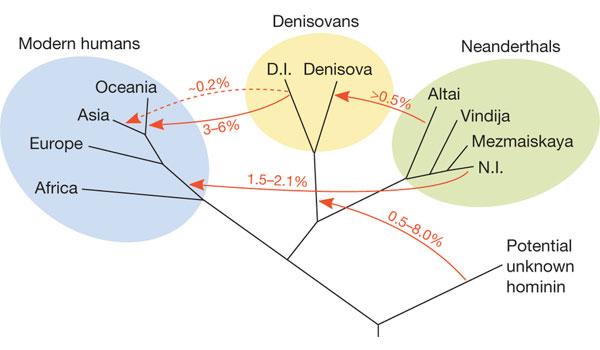 Een stamboom van vier typen mensachtigen die zo'n 50.000 jaar geleden in Eurazië leefden. Ook de uitwisseling van genen (rode lijntjes) is aangegeven. Afbeelding: UC Berkeley.