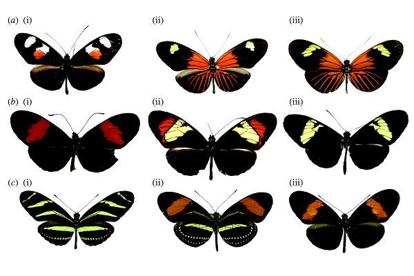 Vlinders uit het geslacht Heliconius. Boven van links naar rechts: Heliconius erato notabilis, Heliconius erato etylus, Heliconius erato emma. Midden van links naar rechts: Heliconius melpomene melpomene, Heliconius heurippa, Heliconius cydno cordula. Onder: Heliconius charithonia, Heliconius hermathena renatae, Heliconius erato hydara.  Afbeelding: Hybrid trait speciation and Heliconius butterflies, Philosophical Transactions of the Royal Society B, 27 September 2008 vol. 363 no. 1506 3047-3054.
