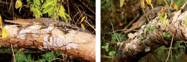 Jonge krokodillen zijn lichter en kunnen doorgaans hoger klimmen. Afbeelding: afkomstig uit Herpetology Notes.