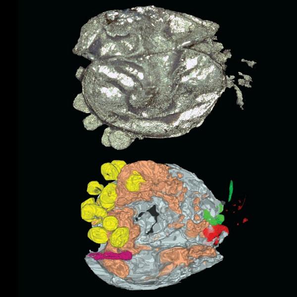 De ledematen en eitjes zijn op deze afbeeldingen goed te zien. Afbeeldingen: Siveter, David J., Tanaka, G., Farrell, C.  Ú., Martin, M.J., Siveter, Derek J & Briggs, D.E.G.