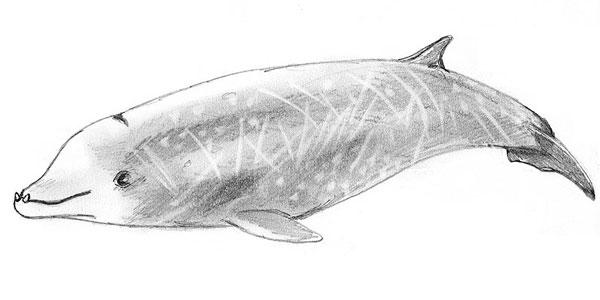 dolfijn van Cuvier