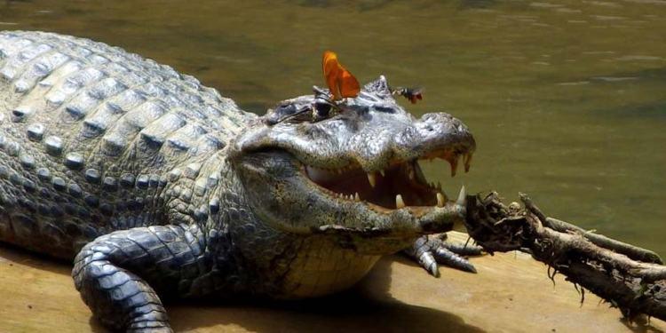 krokodillentraan