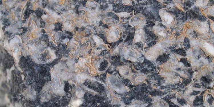 Een stukje van het door Cloudina-diertjes (witte cirkels) gebouwd rif.