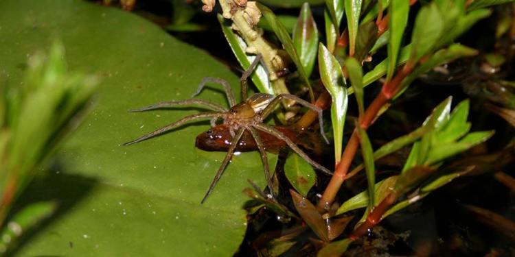 visetende-spinnen