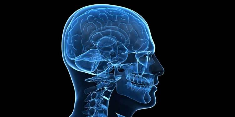 hersenen-2