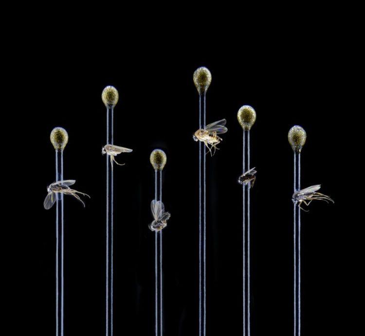 Zes van de dertig nieuwe bochelvliegen.