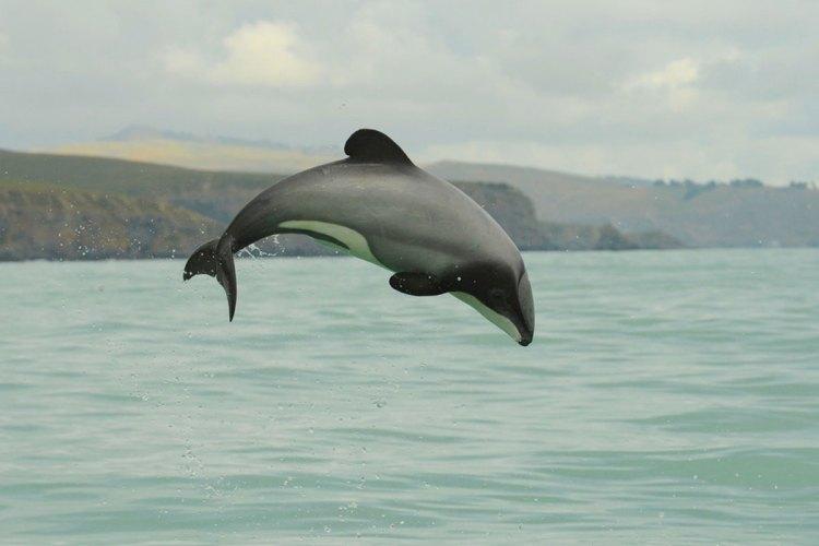 maui-dolphin