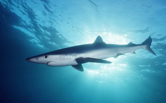 De grote blauwe haai ziet er net zo angstaanjagend uit als de witte haai, maar is ongevaarlijk. Er zijn 'slechts' vier dodelijke aanvallen gedocumenteerd tussen 1580 en 2008.