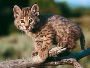 rode-lynx