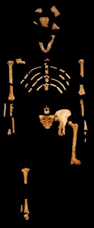 Resten van de beroemde Australopithecus afarensis (Lucy).