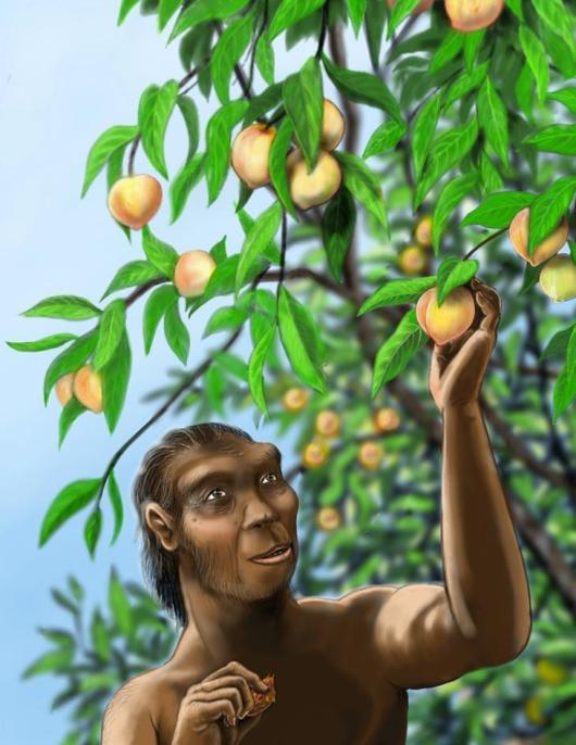 Mogelijk at Homo erectus - een inmiddels al lang uitgestorven mensachtige - wel perziken die in veel opzichten lijken op de perziken die we vandaag de dag in de supermarkt of bij de groenteboer kopen. Afbeelding: Rebecca Wilf.