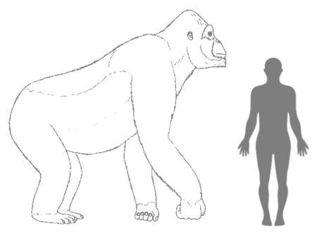 Wanneer we de uitgestorven aap naast een mens zetten, word pas duidelijk hoe groot deze was. Afbeelding: © H. Bocherens.