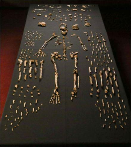 Resten van Homo naledi. Afbeelding: eLife 2015;4:e09560.