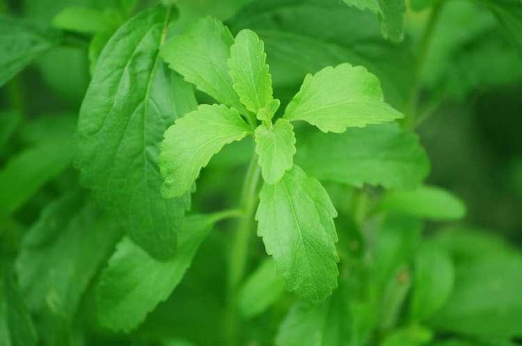 De plant waar stevia van gemaakt wordt.