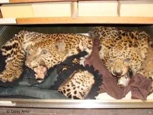 Luipaardhuiden, klauwen en andere lichaamsdelen zijn veel voorkomende items in de wereldwijde illegale handel van wilde dieren. Credits: Corey Anco
