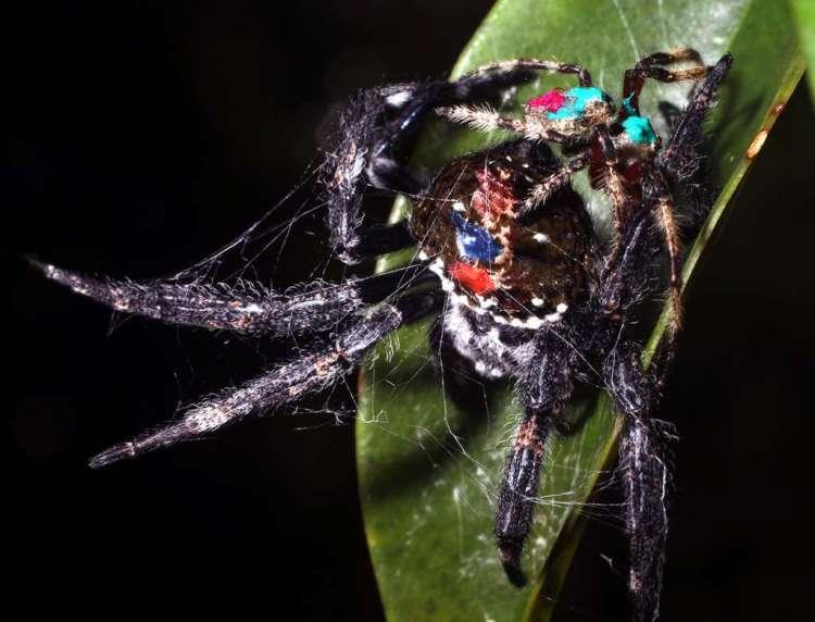 Dit vrouwtje is door het mannetje vastgebonden. Afbeelding: Evolutionary Zoology Lab.