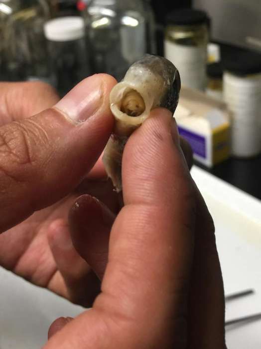 Hier zie je de parasiet Cymothoa exigua in de mond van een vis zitten. Afbeelding: Frank Schulenburg / Louisiana State University, Museum of Natural Science (via Wikimedia Commons).