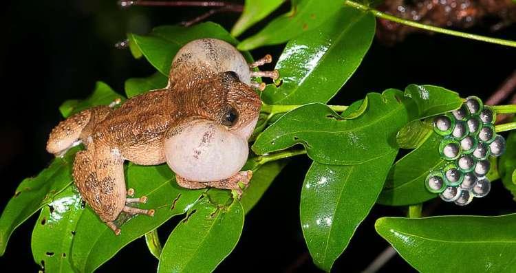 Een vrouwelijke N. humayuni laat van zich horen. Helemaal rechts zie je een verzameling eitjes liggen. Afbeelding: SD Biju.