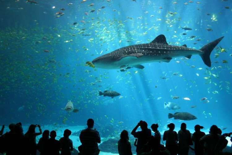 Een walvishaai in een Amerikaans aquarium. Afbeelding: Zac Wolf (via Wikimedia Commons).