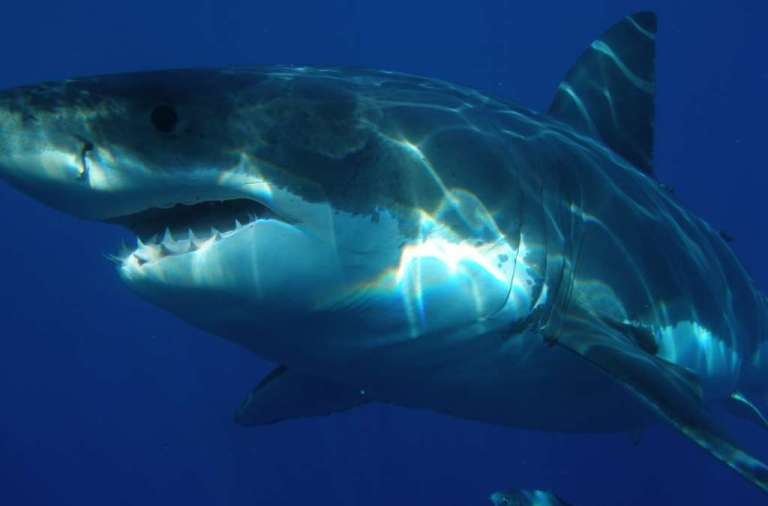 great-white-shark-398276