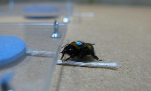 Wetenschappers plaatsten een blauwe kunstbloem die een sacharose-oplossing bevat onder plexiglas. De hommel kan de bloem zien, maar er niet bij. En dus zit er maar één ding op: aan het touwtje trekken en de bloem onder het plexiglas vandaan halen. Op deze foto zie je dat de hommel zijn linker voorpootje op het touwtje heeft geplaatst om eraan te trekken. Afbeelding: Sylvain Alem.