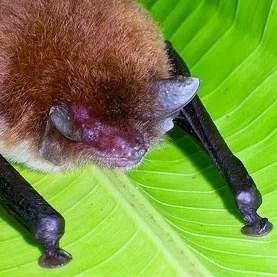 Agindo simultaneamente como megafone e corneta acústica, as folhas amplificam o canal comunicativo dos morcegos, que encontram abrigo e se reúnem mais rápido. Foto: Alan Wolf/Flickr