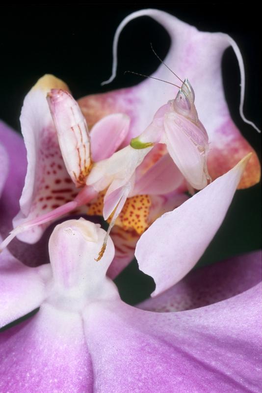 La mantide orchidea appostata in un fiore: difficile capire dove finisca la prima e inizi il secondo!