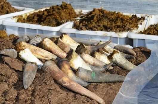 Preparazione del cornoletame (preparato 500 dell'agricoltua biodinamica) - Immagine da Flikr.
