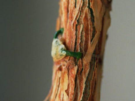 Seme vischio