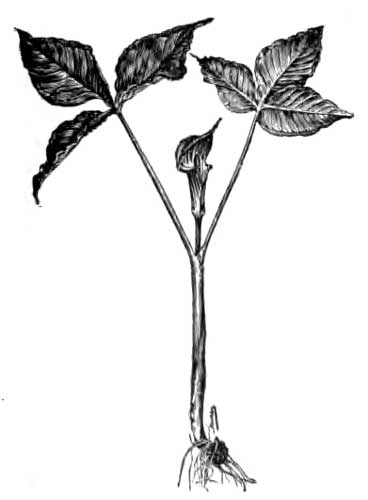 Ginseng and Other Medicinal Plants, by A. R. (Arthur
