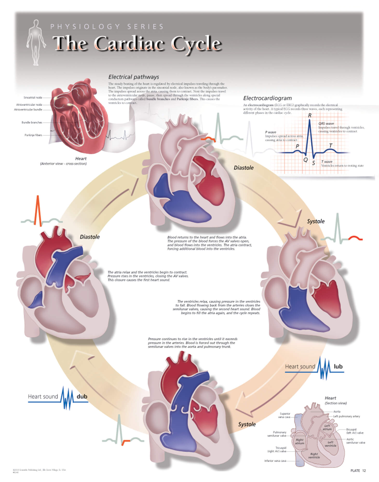 The Cardiac Cycle Scientific Publishing