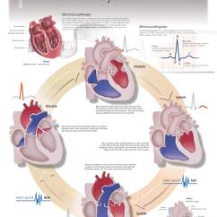Digestive System Flow Chart Diagram Magnesium Phase The Cardiac Cycle – Scientific Publishing