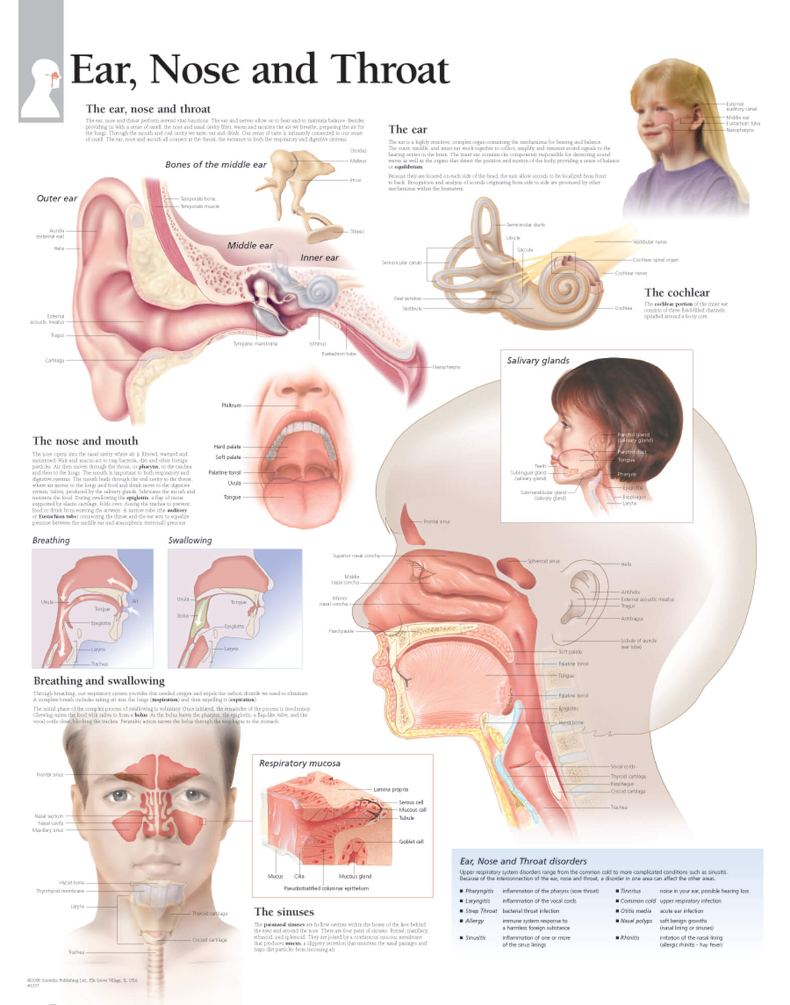 hight resolution of ear nose and throat