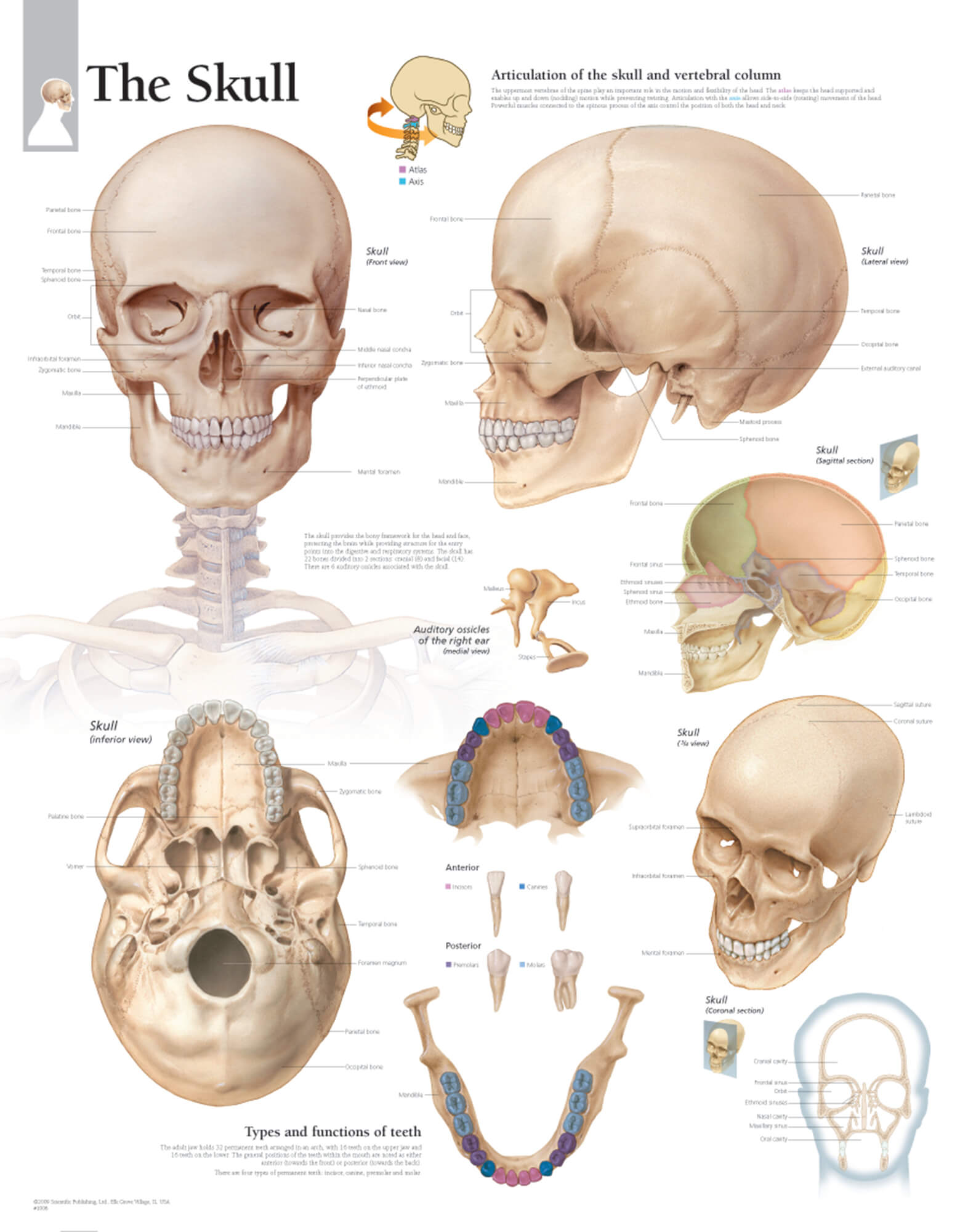 human skull bones diagram labeled gold silver copper phase the  scientific publishing