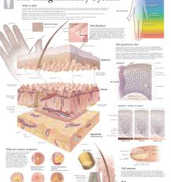 skin anatomy [ 1572 x 2000 Pixel ]