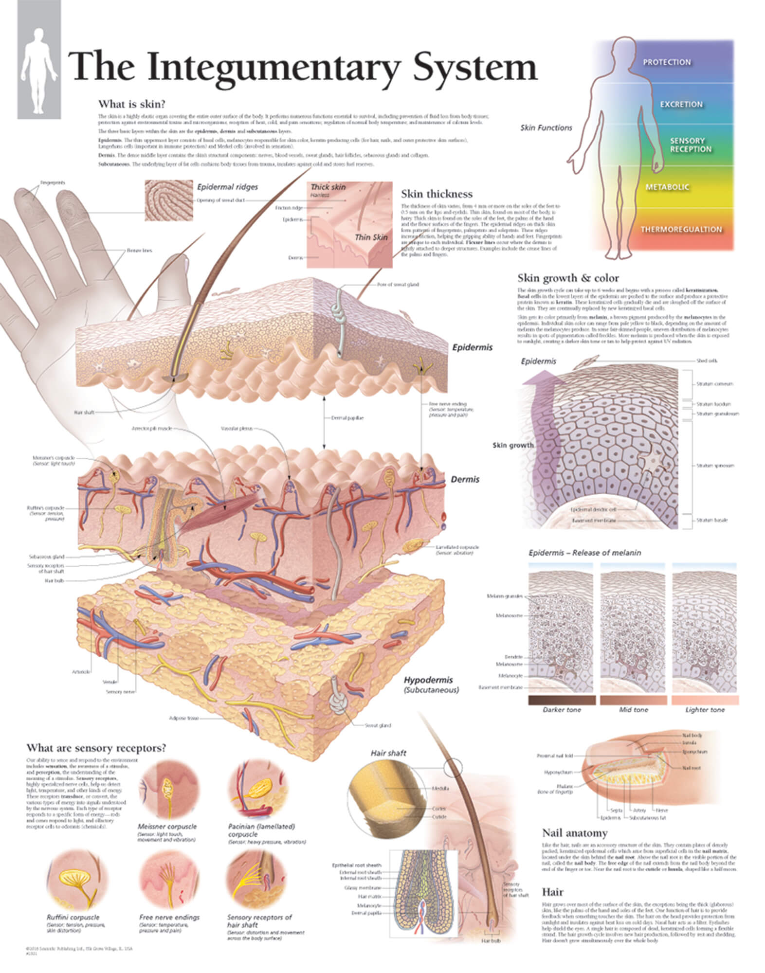 hight resolution of skin anatomy