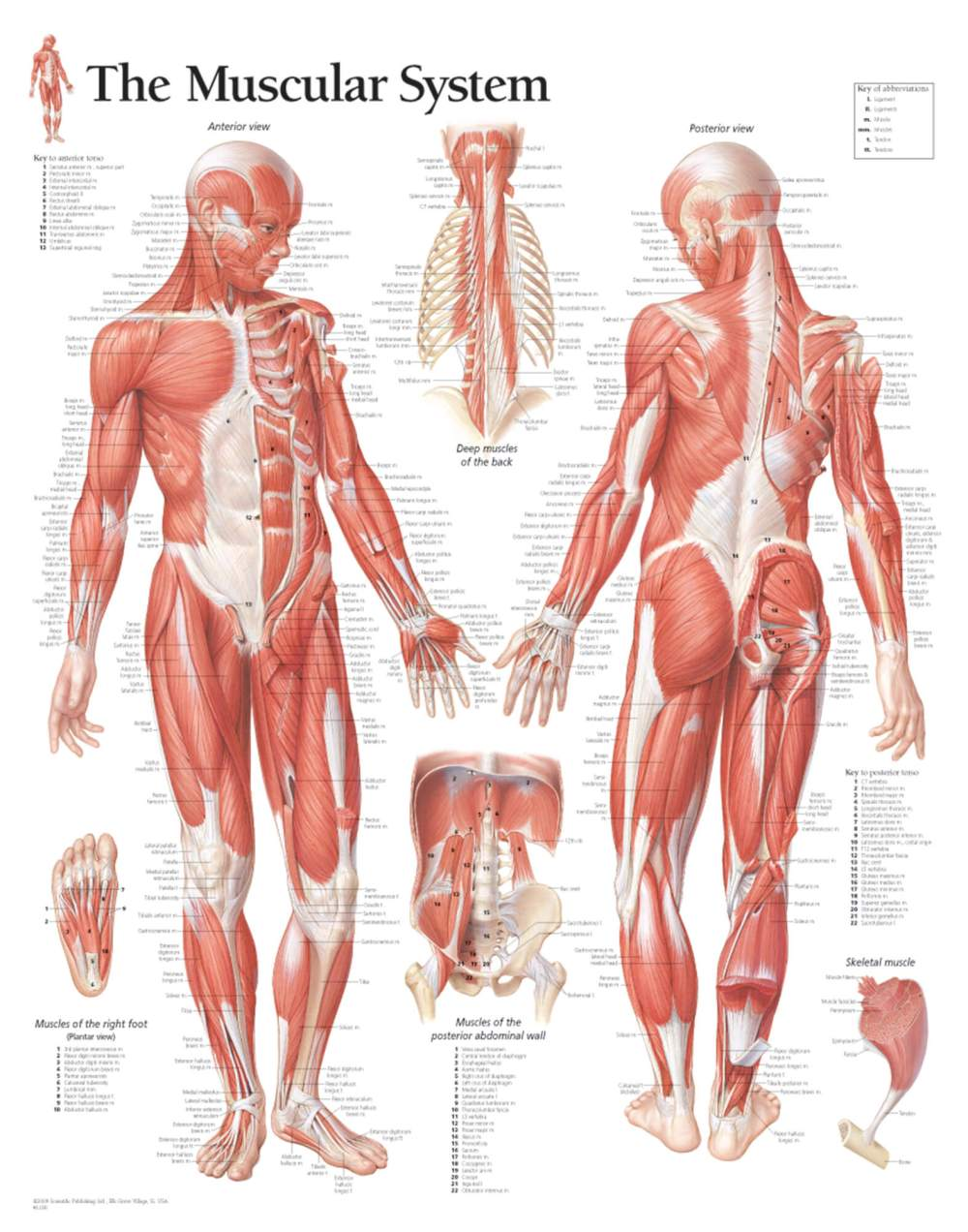 medium resolution of muscular system