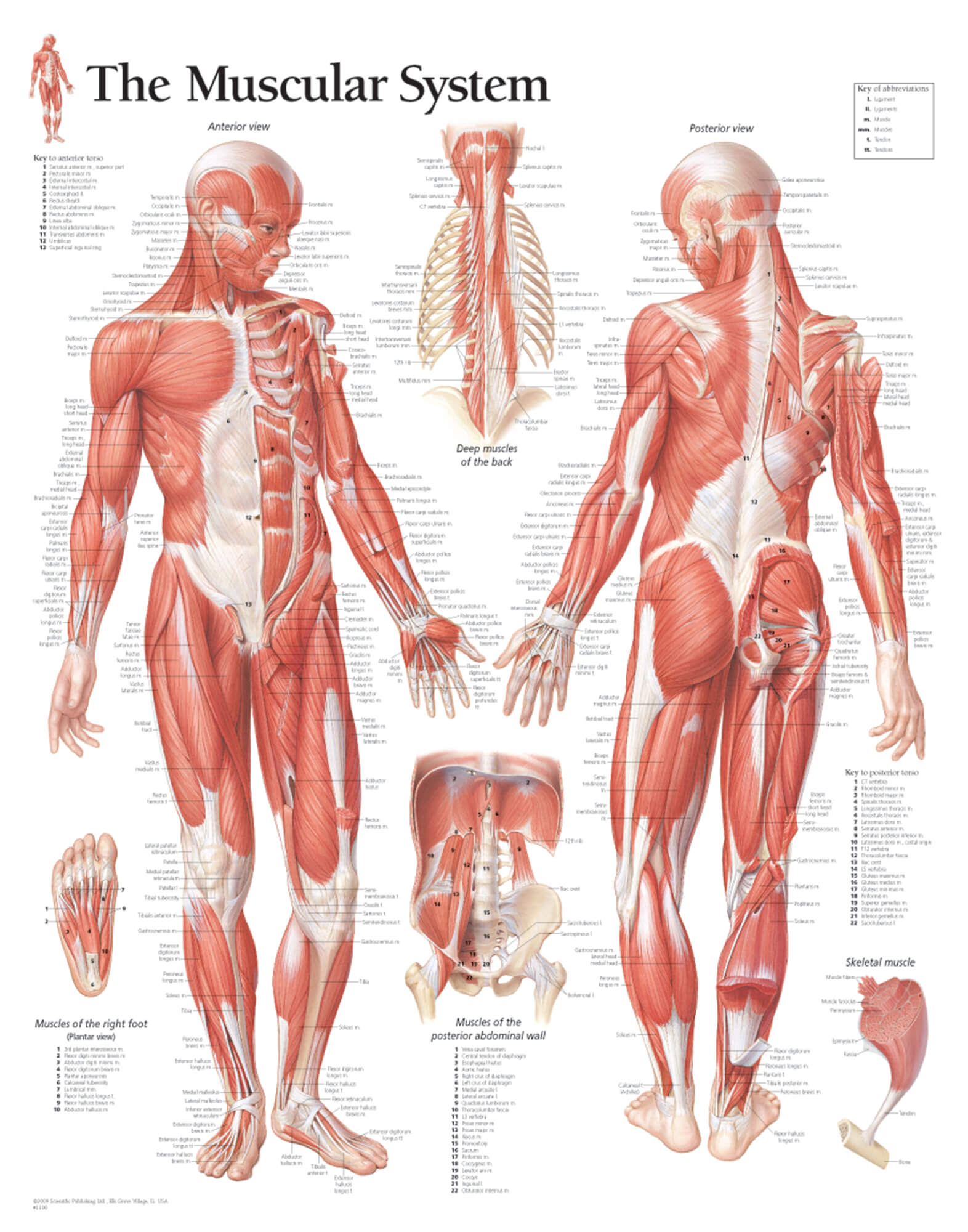 hight resolution of muscular system