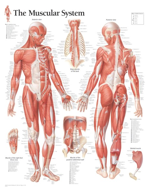 small resolution of muscular system
