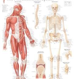 musculoskeletal system [ 1572 x 2000 Pixel ]